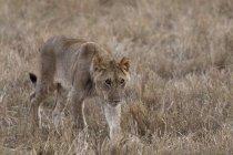 Лев, ходить на сухой травы в Масаи Мара, Кения — стоковое фото