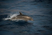 Bottlenose dolphin jumping from water, Guadalupe, Mexico — Stock Photo