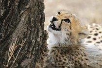 Cucciolo di Ghepardo sveglio guardando albero, riserva nazionale di Masai Mara, Kenya — Foto stock