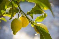 Gelbe Zitronen wachsen am Baum mit grünen Blättern — Stockfoto