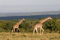 Masai Giraffes at Masai Mara National Reserve, Kenya — Stock Photo