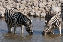 Acqua potabile delle zebre di Burchells a Parco nazionale di Etosha, Namibia — Foto stock