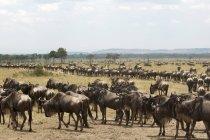Troupeau de gnous marchant sur le terrain dans la réserve nationale de masai mara, Kenya — Photo de stock