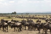 Herd of wildebeests walking on field in masai mara national reserve, Kenya — Stock Photo