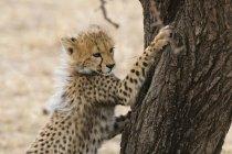Cute cucciolo di ghepardo affilatura nails a albero, riserva nazionale di Masai Mara, Kenya — Foto stock