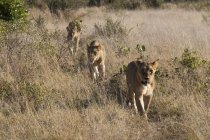 Orgoglio di leone cammina nella Savute Channel, Linyanti, Botswana — Foto stock