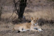 Lion lying on dry grass and looking away in Masai Mara, Kenya — Stock Photo
