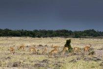 Impalas pastam na reserva nacional de masai mara, no Quênia — Fotografia de Stock