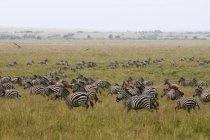 Zebra comum e Topi, migrando, Masai Mara National Reserve, Quênia — Fotografia de Stock