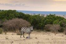 Una cebra caminando y mirando a cámara, Masai Mara, Kenia - foto de stock
