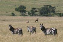 Comune Zebra (Equus quagga), riserva nazionale di Masai Mara, Kenya. — Foto stock