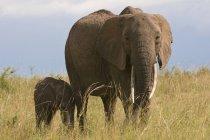 Afrikanischer Elefant und Jungtier beim Wandern im Masai Mara Nationalreservat, Kenia — Stockfoto