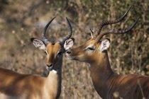 Zwei schöne Impalas in Savute Kanal, Linyanti, Botswana — Stockfoto