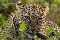 Leopardo con ucciso impala, riserva nazionale di Masai Mara, Kenya — Foto stock