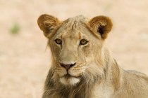 Portrait of one beautiful lioness looking away in africa — Stock Photo