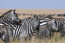 Zebre di sovvenzioni guardando la telecamera, riserva nazionale di Masai Mara, Kenya — Foto stock