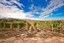 Vista panoramica di viti in vigna — Foto stock