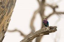 Невеликі фіолетові птах сидить на гілці сухе дерево у Savuti, Чобе Національний парк, Ботсвани — стокове фото
