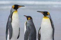 Re pinguini sulla spiaggia di sabbia, Port Stanley, Isole Falkland, Sud America — Foto stock