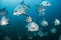 Підводний постріл шкільну освіту лопату Північноатлантичного риби, Кінтана-Роо, Мексика — стокове фото
