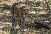 Leopardo a piedi su un terreno vicino al cespuglio e rivolto verso l'obiettivo — Foto stock