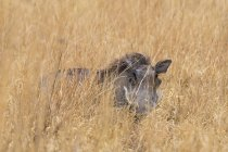 Facocero nascondendosi nell'erba e rivolto verso l'obiettivo — Foto stock