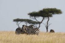 Zèbres de subventions dans le domaine de la réserve nationale de Masai Mara, Kenya — Photo de stock