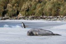 Foca elefante meridionale appoggiata sulla spiaggia, pinguino in piedi vicino all'acqua — Foto stock