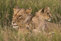 Lioness and two small cubs lying on grass in Masai Mara, Kenya — Stock Photo
