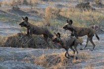 Трьох африканських дикі собаки працює в Savuti, Чобе Національний парк, Ботсвани — стокове фото