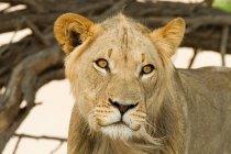 Портрет африканского льва, глядя в Африке — стоковое фото
