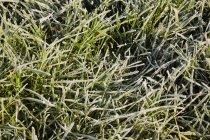 Hierba cubierta de escarcha, cerca - foto de stock