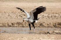 Sbattere le ali dell'uccello di segretaria — Foto stock