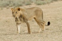 Full length view of beautiful majestic african lioness in wilderness — Stock Photo