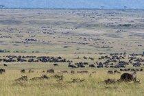 Migrazione di orientale GNU dalla barba bianca, riserva nazionale di Masai Mara, Kenya — Foto stock