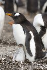 Gentoo penguin with chick, Port Stanley, Falkland Islands, South America — Stock Photo