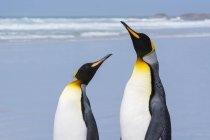 Ritratto di due pinguini reali sulla spiaggia sabbiosa, Port Stanley, Isole Falkland, Sud America — Foto stock