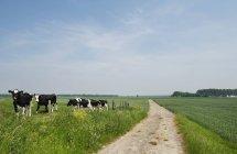 Vacas pastando no campo, Kruisdijk, Zeeland, Holanda, Europa — Fotografia de Stock