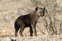 Гієна поблизу сушені Буша в пустелі дивлячись на камеру — стокове фото
