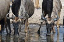 Blue wildebeests drinking water from river, Kalahari, Botswana — Stock Photo