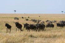 Östliches Weißbartgnu, Connochaetes taurinus albojubatus, Migration, Masai-Mara-Nationalreservat, Kenia — Stockfoto
