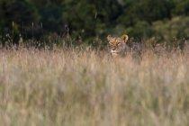 Leoa à procura de filhotes na grama alta, Masai Mara, no Quênia — Fotografia de Stock
