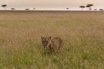 Une lionne marchant dans l'herbe verte dans le Masai Mara, Kenya — Photo de stock