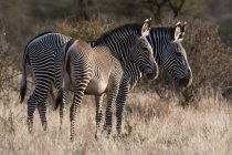 Vista laterale di due zebre Grevys belle a Kalama Conservancy, Samburu, Kenya — Foto stock