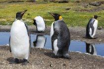 Re pinguini in stagno d'acqua, Port Stanley, Isole Falkland, Sud America — Foto stock
