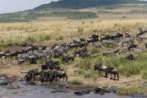 Sovvenzioni di zebre e GNU sulla riva del fiume Mara a riserva nazionale di Masai Mara, Kenya — Foto stock