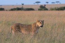 Портрет львица в траве в Саванна, Масаи Мара, Кения — стоковое фото
