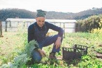 Mature man weeding vegetable garden — Stock Photo