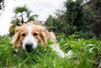 Ritratto del cane domestico che si trova nell'erba — Foto stock