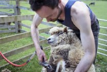 Granjero de hombre esquilando ovejas en campo - foto de stock